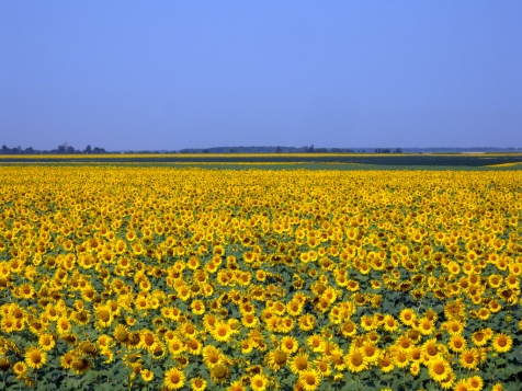 ukraine-sunflower-field